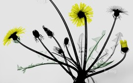 Preview_dandelion_xray