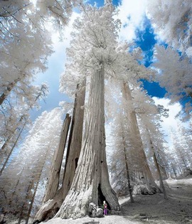Preview_giant_sequoias_covered_in_frost