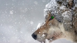 Preview_wolf-2043464_1280