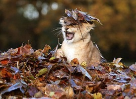 Preview_caturday_big_cats_fall