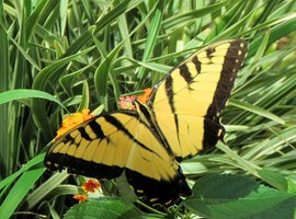 Preview_easterntigerswallowtail_missingpart_of_tail_7-13-20