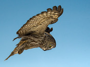 Great Gray Owl hovering over dinner