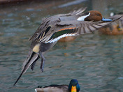 Northern Pintail inflight