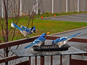 Blue Jays on my Balcony