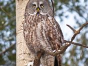 Chouette Lapone / Lapland owl