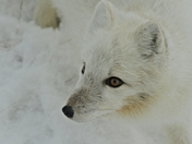 Too Cute - Arctic Fox