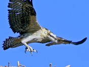 Osprey Teen Trying to Fly
