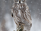 Great Gray Owl in Heavy Snowfall