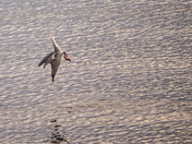 Dive bombing for mussels