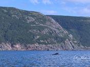 Pilot Whale and Cape Breton Island
