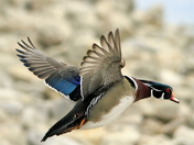 Wood Duck in flight