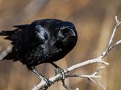 Kent's Pomd Crow