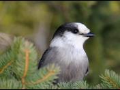 Perisoreus canadensis a.k.a Grey Jay a.k.a Whiskey-Jack