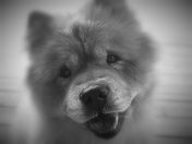 Gucci the Chow Chow