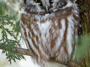 Boreal Owl in the Burbs