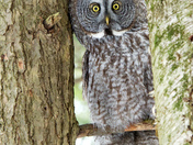 Great Gray Owl Peek a Boo