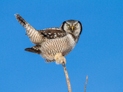 Northern Hawk Owl on Blue