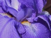 Inner Iris