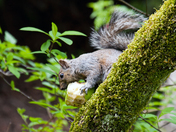 A Squirrel who eats apples
