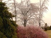 Iced Dogwood @ Trees