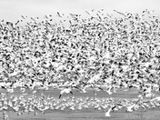 Migration of the Snow Geese