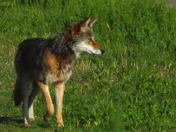 Fraser Valley Coyote