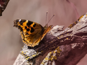 compton tortoise shell butterfly