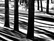 Trees and shadows B&W