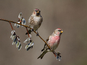 Pair of Redpolls