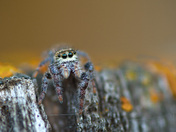 Boral jumping spider