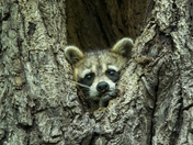 Racoon in Tree Cavity
