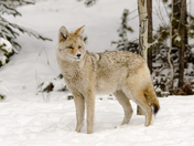 Snow Nose Coyote