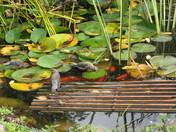 Birds:Cedar Waxwings