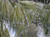 Ice storm coats evergreen branches