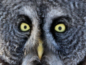Great Grey Owl Stare-down