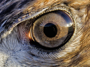 Red Tail Hawk Eye