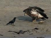 Bald Eagle and Crow
