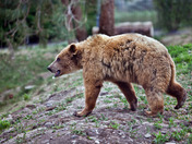 Grizzly Bear wandering through