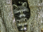 4c. Raccoon Family