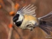 Chickadee Blurr!!!