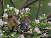 Waxwings and blossoms