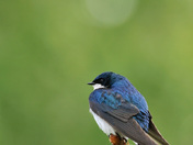 Tree Swallow on Spruce