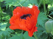Fringed poppy