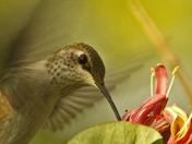 3c. HUMMING BIRD