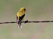 Imature Goldfinch