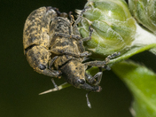 Love for two weevil....