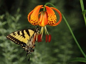Tiger Swallowtail and Lily