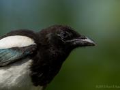 Juvenile Magpie Up-Close
