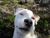 Snoopy Falling Asleep
