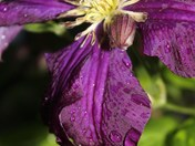 Tears of the Clematis